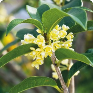 Osmanthus PIRAMIDKA